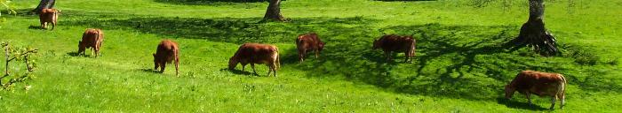 Cows grazing in Barn Park